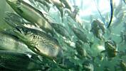 Antall prikker har vært viktig for å identifisere rømt oppdrettslaks som har gått opp i elvene. Nå er det påvist at det er oppvekst i oppdrettsmiljø som avgjør hvor mye prikker laksen får; ikke om det er snakk om villaks eller oppdrettslaks. (Foto: Frode Oppedal / Havforskningsinstituttet)