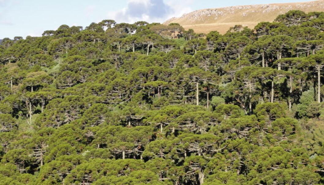 Skog i Brasil. Paranafuruen og flere andre arter i slekten apeskrekk er utrydningstruet. (Foto: Jose Iriarte)
