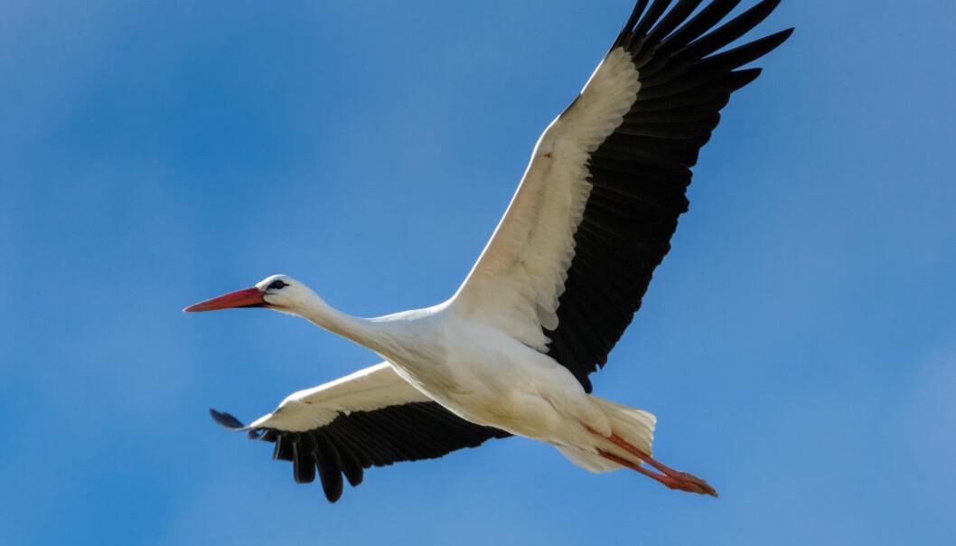 Flygedyktige storker leder an når trekkfuglene flyr sørover for vinteren. (Foto: Shutterstock/NTB scanpix)
