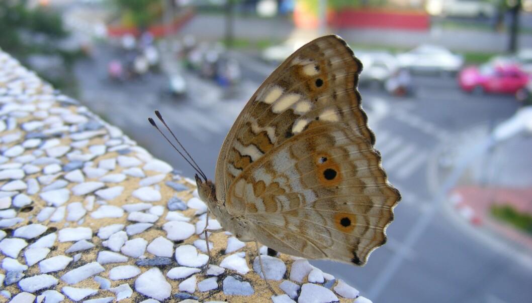 Sommerfuggel i bylandskap. Byene favoriserer arter som er små. (Illustrasjonsfoto: Shutterstock/NTB scanpix)
