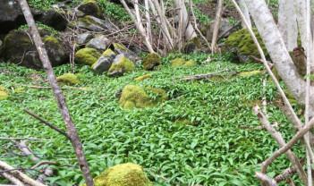 Skogens grønne gull