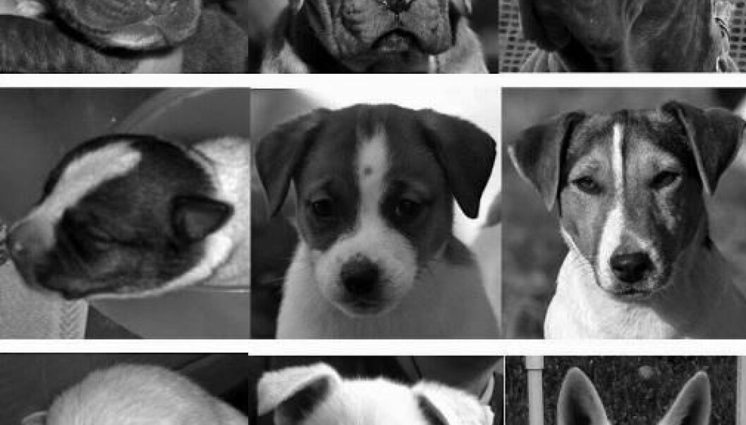 Hvilken hund er søtest? De øverste bildene viser cane corso-hunder i ulike aldre, den midterste Jack Russell-terriere og den nederste viser fårehunder.  (Foto: Anthrozoos: A Multidisciplinary Journal of the Interactions of People and Animals)