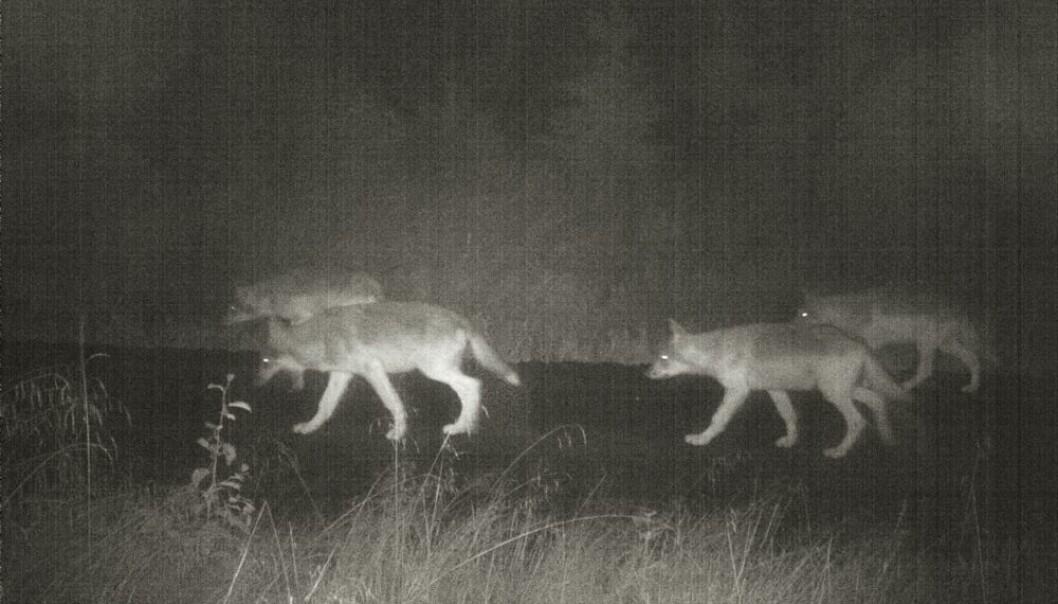 Tross omfattende jakt er det ikke blitt mindre ulv. Disse dyrene i Kynnareviret i Hedmark ble fotografert med vilkamera i august i fjor.  (Foto: viltkamera.nina.no)
