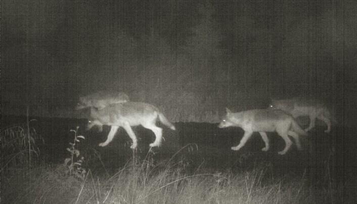 Hvorfor er det så mye ulv?