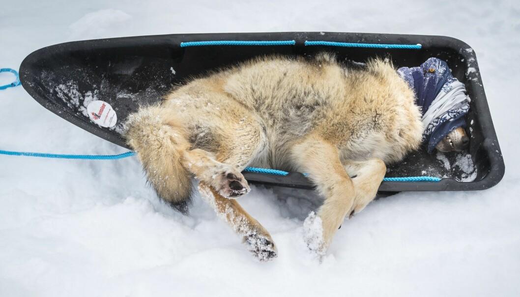 En ett år gammel ulvehann som nettopp er blitt bedøvet fra helikopter ved Ulvsjøberget ved Osen i Åmot i Hedmark. Ulven stammer fra Slettåsflokken og skal bli radiomerket med GPS-sender før den slippes fri igjen. I tillegg tas det en del prøver. (Foto: Heiko Junge, NTB scanpix)