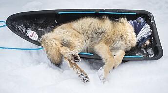 Rekordmange ulv registrert i Norge