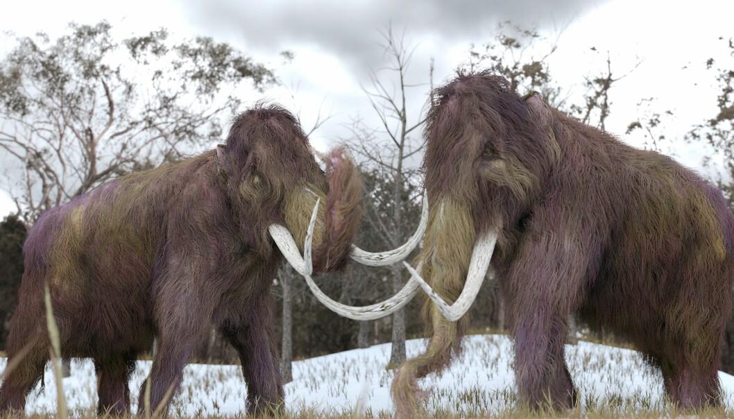 Det er muligens bare et spørsmål om tid før vi nok en gang får se en levende mammut. Både russiske, amerikanske og sørkoreanske forskere har puslet med saken en stund allerede. (Illustrasjon: AuntSpray, Shutterstock, NTB scanpix)