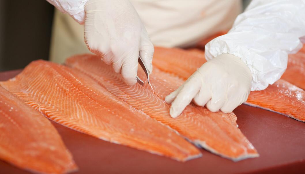 Den tradisjonelle måten å velge ut oppdrettsfisk på er ved å se direkte på fiskens gener og ytre egenskaper, eller ved å se direkte på tarmbakteriene. Nå mener forskere man også må se på begge deler i sammenheng. (Foto: Shutterstock / NTB Scanpix)
