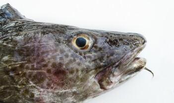 Lutefiskens hemmelighet