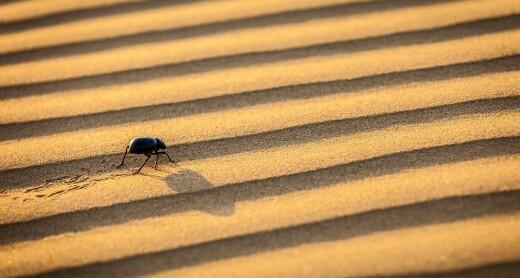 Ørkenbillen fyller vannflaska med tåke