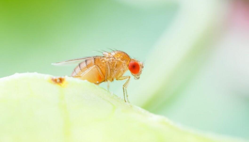 Fra brune bananer til Nobelpriser: Hvordan små fluer kan gi stor innsikt