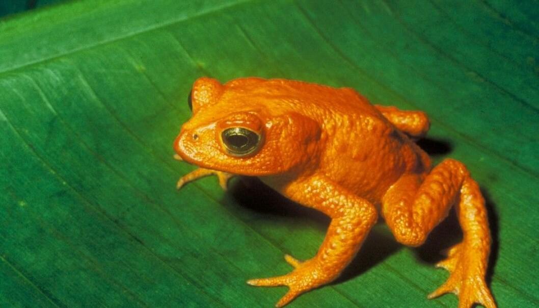 Flere mener den gylne padda fra Costa Rica døde ut på grunn av soppinfeksjoner. (Foto: Charles H. Smith / Wikimedia Commons)