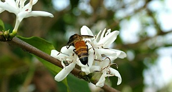 Kaffe: Om bønner, bier og bæsj