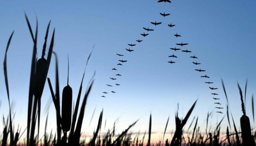 En trekkfugls beslutninger