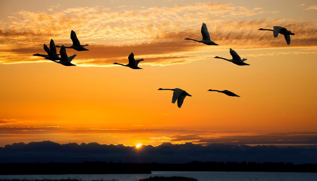 Det oppleves kanskje ikke slik for en enkelt fugl på vei sørover, men i det store bildet sparer trekkfugler energi, mener forskere. (Foto: Colourbox)