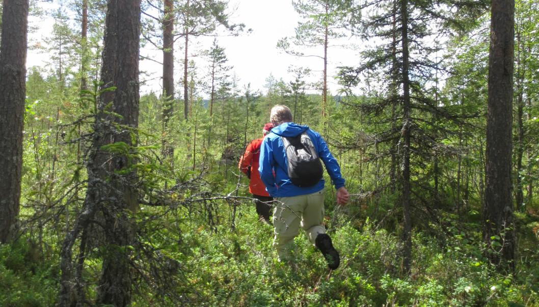 Erfarne guider gjennomførte turer i bjørnens nærområde (arrangert bilde). Bildet viser typisk terreng som bjørnen foretrekker. (Foto: Maria Johansson, Lunds Universitet)