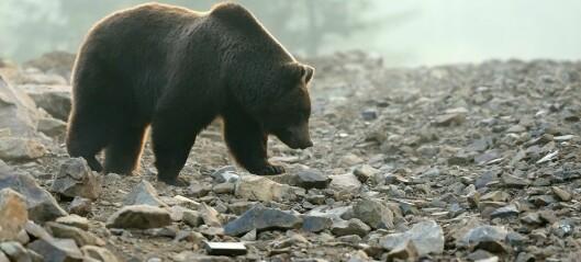 Den vanlige bjørnen