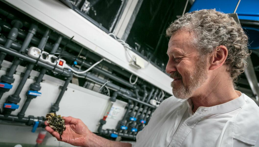 Havforskar Stein Mortensen leiter etter viruset OsHV-1 i stillehavsøsters. (Fotograf: Erlend Astad Lorentzen / Havforskningsinstituttet)