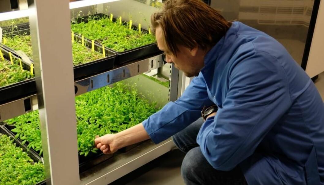 På Insitut for Plante- og Miljøvidenskab på Københavns Universitet forsker man på plantegener ved hjelp av CRISPR. Her vårskrinneblom som har blitt «genmodifisert» ved hjelp av CRISPR.  (Foto: Marie Barse)