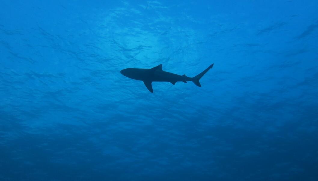 Forskere har oppdaget arter man trodde var utryddet ved hjelp av DNA i korallrev. (Foto: Laurent Vigliola)