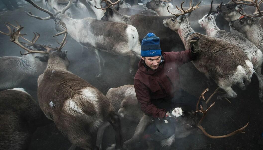 Mye av kunnskapen om reindrifta er muntlig, og ikke skriftlig dokumentert. Derfor kan det være vanskelig å forske på den. Det finnes likevel en viss dokumentasjon fra etnologer og sosialantropologer som gjorde en del studier på 1940- og 50-tallet i Sverige. (Foto: Jonathan Nackstrand / AFP / NTB Scanpix)
