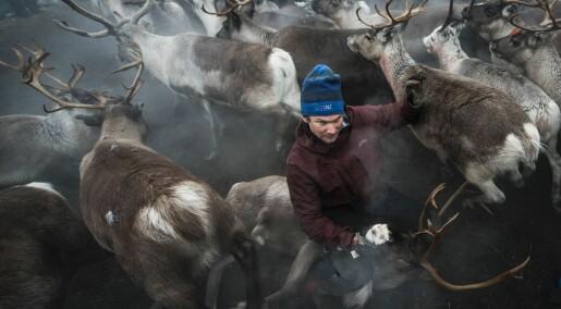 – Sveriges reindriftslov bygger på sovjetisk modell, ikke samisk tradisjon