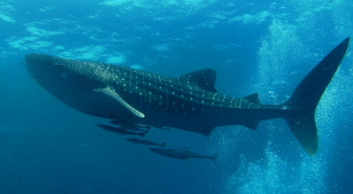 Hvalhaien Anne svømte 20 000 kilometer