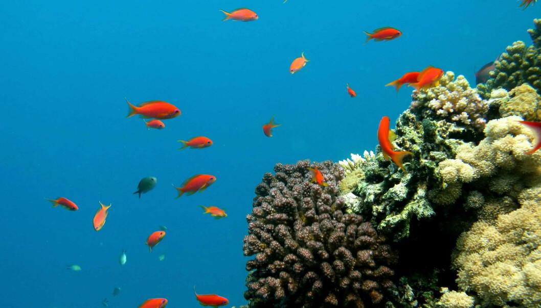 Det er kjent at korallrev blir hardt rammet av havforsuring. Men i en ny studie fra Havforskningsinstituttet viser forskerne at det ikke bare er organismer som trenger kalk som blir rammet av surere hav. (Foto: Hassan Ammar/AFP Photo)
