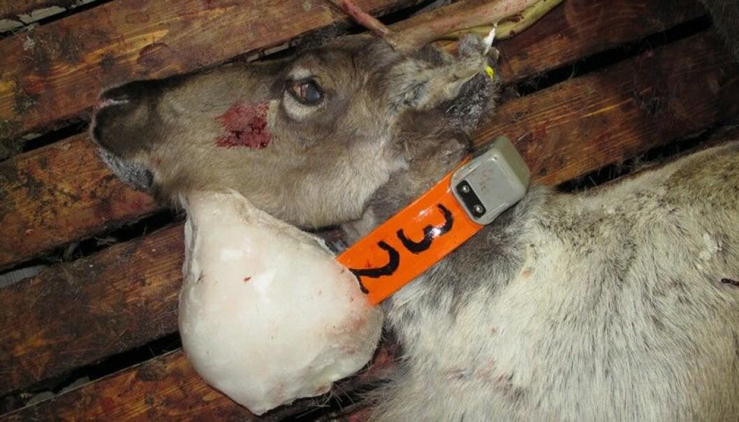 Ett av reinsdyrene som ble avlivet fordi det hadde fått en stor isklump rundt det radiomerkede halsbåndet.  (Foto: Miljødirektoratet/SNO)