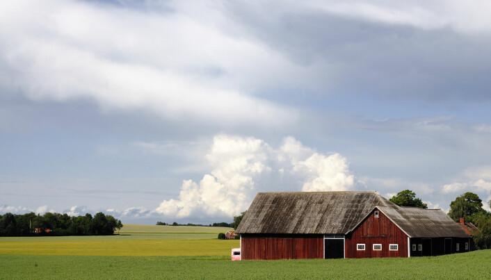 Det er flest fattige blant bøndene som produserer kjøtt og færrest i kornproduksjonen på svenske gårder. (Foto: Shutterstock/NTB scanpix)