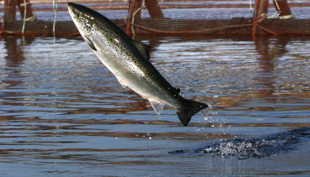 Naturen prøver å stå imot i genetisk påvirkning. Men det klarer den ikke dersom oppdrettslaks finner veien til villfiskens gyteplass og innblandingen blir for høy, viser ny forskning. (Foto: Robert F. Bukaty / AP Photo / NTB Scanpix)