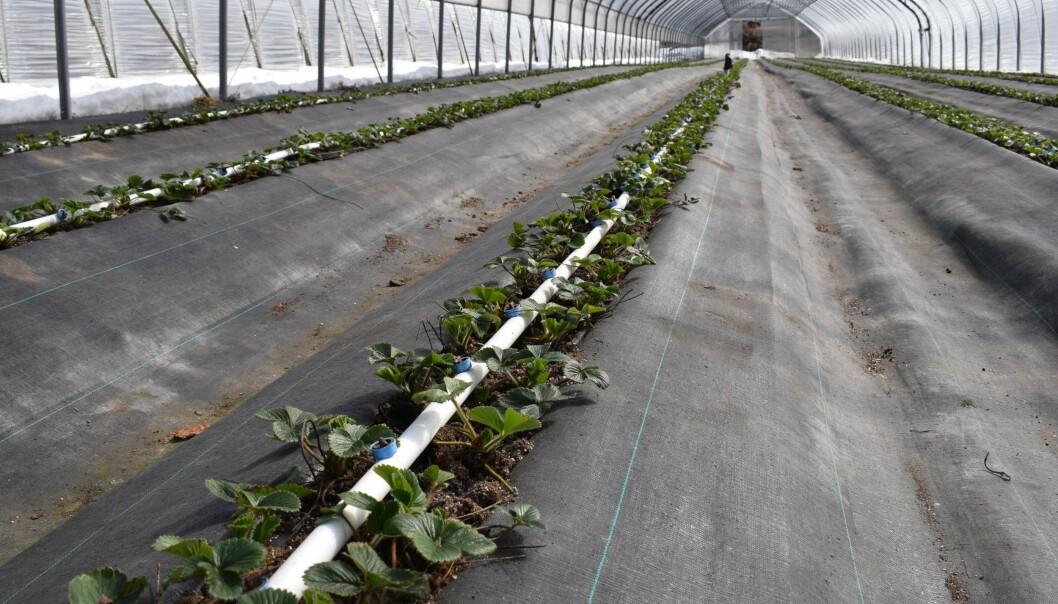 Jordbærplantene fra Nederland er satt ut i midten i tunnelen i midten av mars, og skal gi avling i slutten av mai. (Foto: Anita Sønsteby)