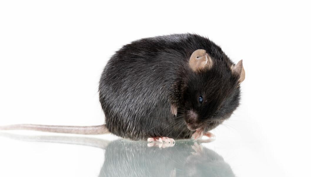 Tykke mus fikk ikke slitasjeleddgikt dersom de spiste prebiotika.  (Illustrasjonsfoto: Janson George / Shutterstock / NTB scanpix)