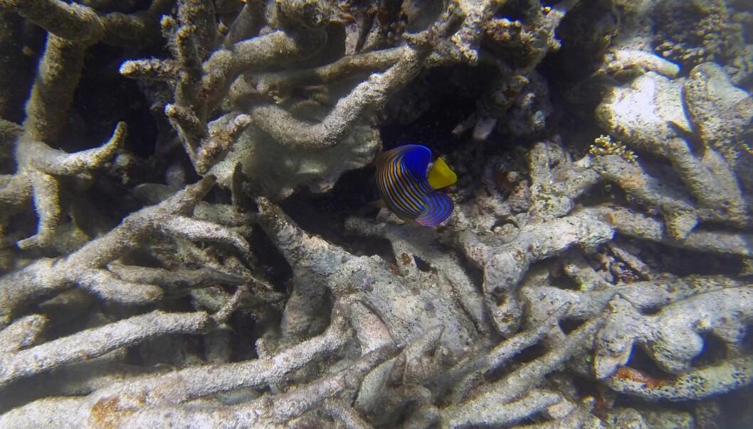 Koraller på Great Barrier Reef døde av ekstrem varme