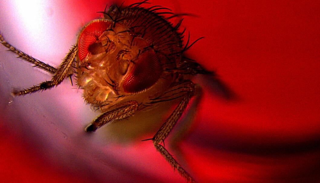 Bildet viser en hannflue som blir utsatt for rødt lys for å aktivere nevroner som fører til utløsning. (Foto: Avi Jacob, BIU Microscopy unit)