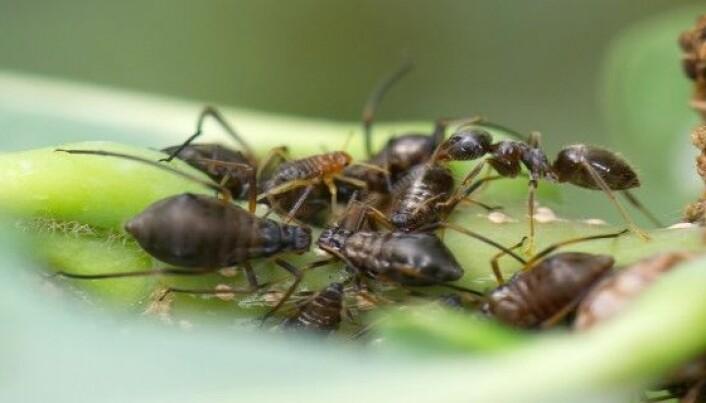 Skogjordmaur (Lasius platythorax) som samler honningdugg fra en bladluskoloni på eik. (Foto: Arnstein Staverløkk)