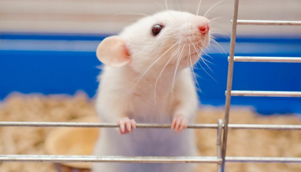 Rotter blir nå brukt i flere afrikanske land for å finne ut om barn har utviklet tuberkulose. De sniffer seg gjennom hundre spytteprøver på en halvtime. Som premie får de banan. (Foto: Kirill Kurashov, Shutterstock, NTB scanpix)