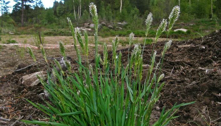 Lavlandsarten gulaks er tilpasset miljø med en lenger vekstsesong. Den investerer mindre i hvert pollenkorn og lager i stedet mye mer pollen over en lang periode. (Foto: Egil Michaelsen)