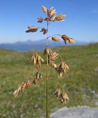 Fjellrapp er en høyfjellsplante som er vant med kort og intens vekstsesong. Den er avhengig av at pollineringen er vellykket innen et kort tidsrom. (Foto: Anders Bryn)