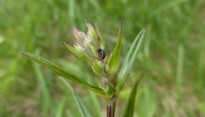 Dragehodeglansbilla legger eggene sine i knoppene til dragehodeplanten. (Foto: Siri Lie Olsen)