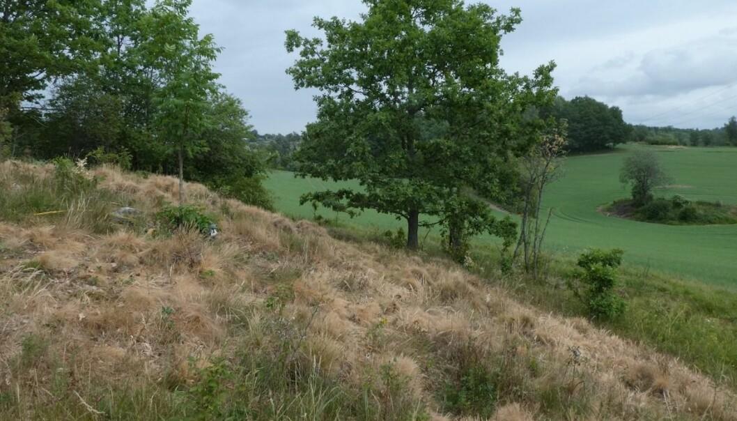 Inntørket vegetasjon på dragehodelokalitet i Akershus. Det kan kanskje gagne dragehode på lang sikt? (Foto: Siri Lie Olsen)