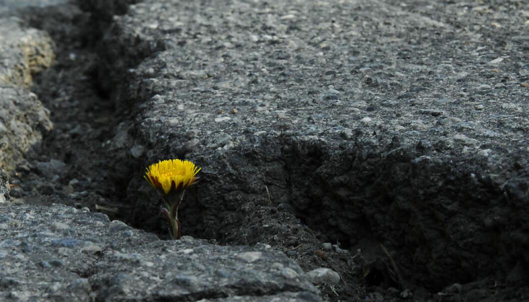Nå i vårløsninga er det typisk å se langsgående sprekker i asfalten.  (Foto: Knut Opeide)