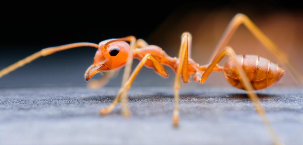Sover denne mauren?