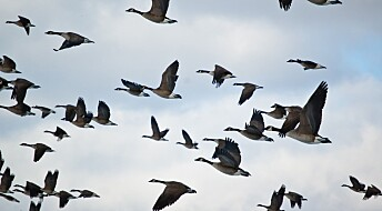 Dør fugler av stråling og radar?