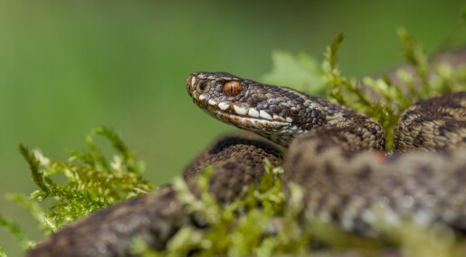 Dette bør du gjøre hvis du blir bitt av en giftig slange