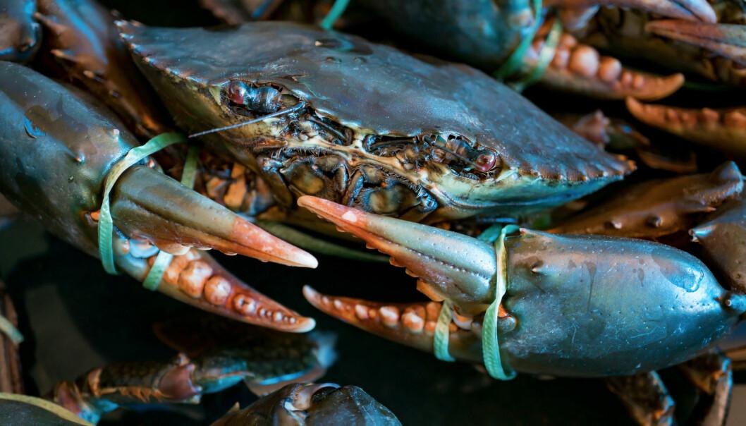 Det er brunmaten i krabbe som inneheld tungmetallet kadmium. Når brunmaten blir blanda inn i krabbepostei og fylte krabbeskjel finn ein det skadelege stoffet også i desse produkta. (Foto: Shutterstock / NTB Scanpix)
