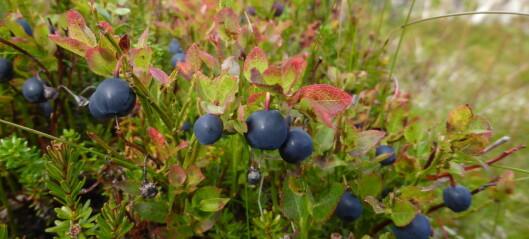 Uten humler – ingen blåbær?