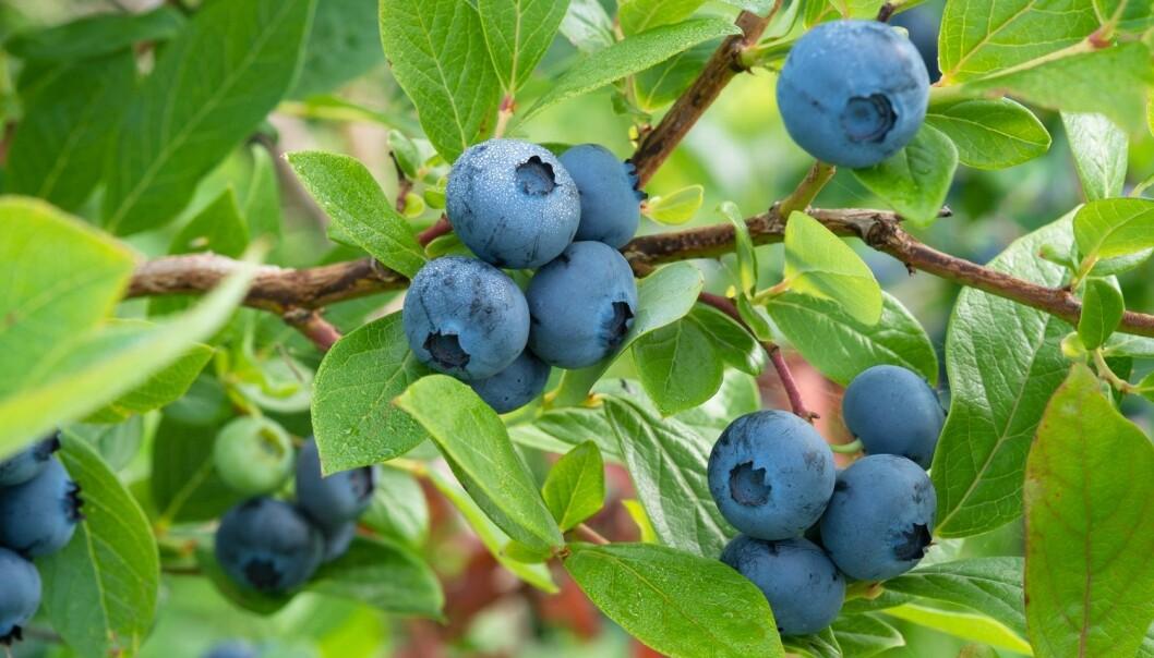Utvilsomt sunt. Nå skal forskerne finnet ut om blåbærkapsler kan forebygge demenssykdommer. (Illustrasjonsfoto: Andris Tkacenko, Shutterstock, NTB scanpix)