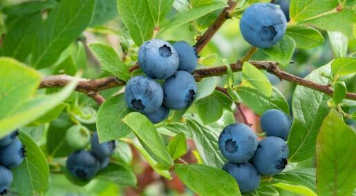 Norske forskere vil finne ut om blåbær kan forhindre demens