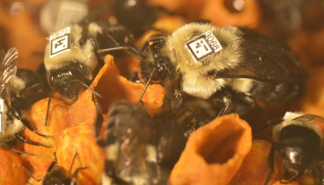 Humler inne i bolet som ble overvåket. Humlene er av arten Bombus impatiens. Dronningen er til høyre i bildet. (Foto: James Crall)
